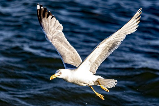 Seagull, Gull, Bird, Seabird, Flight, Animal, Flying