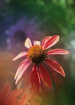 Coneflower, Garden, Nature, Flowers, Bloom, Blossom