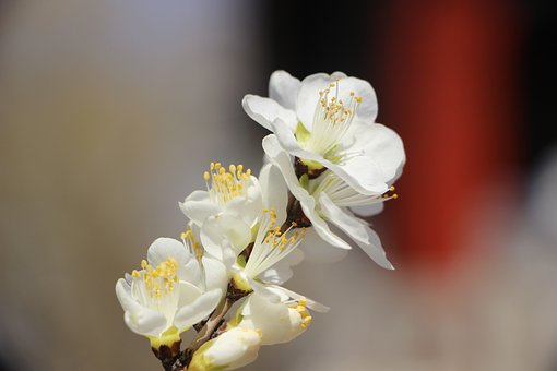 Peach Blossom, Flower, Blooming, Plant, Spring
