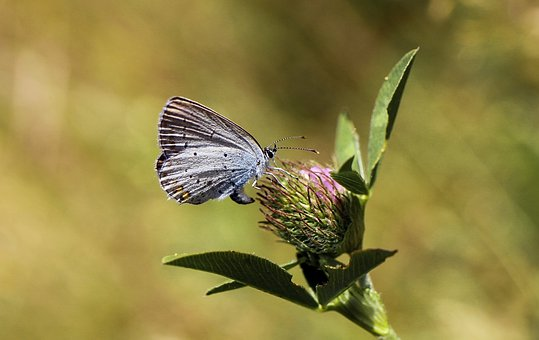 Butterfly, Scarce Large Blue, Insect, Flower