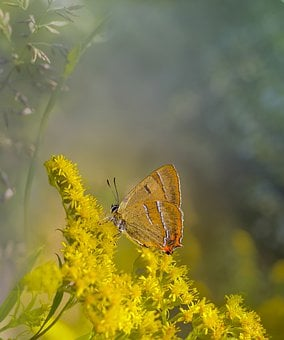 Butterfly, Flowers, Insect, Lepidoptera, Pollination