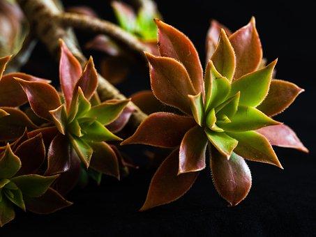 Succulent, Plants, Flora, Close Up, Horticulture