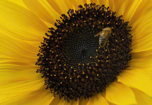 Sunflower, Bee, Flower, Yellow Flower, Insect, Flora