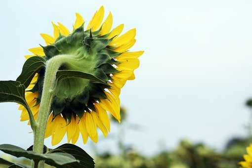 Sunflower, Flower, Petals, Leaves, Stem