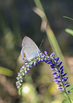 Butterfly, Scarce Large Blue, Insect, Flowers