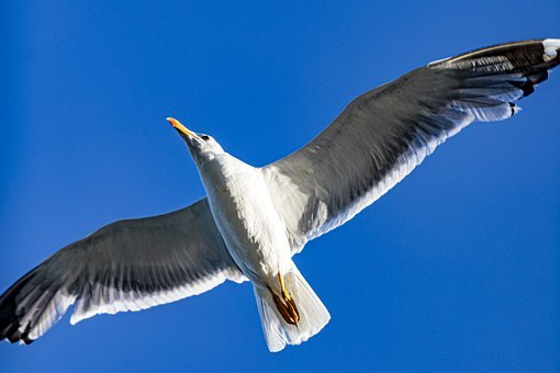 Bird, Seagull, Flight, Flying Bird, Avian, Ornithology