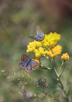 Butterflies, Insect, Scarce Large Blue Butterfly