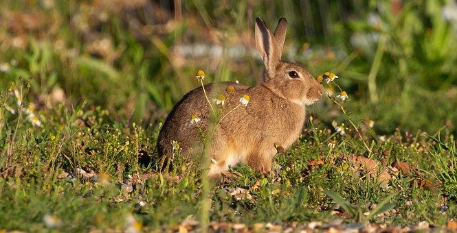 Rabbit, Bunny, Animal, Nature, Outdoor, Grass, Mammal