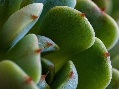 Succulent, Rosette, Green, Plant, Flora, Close Up