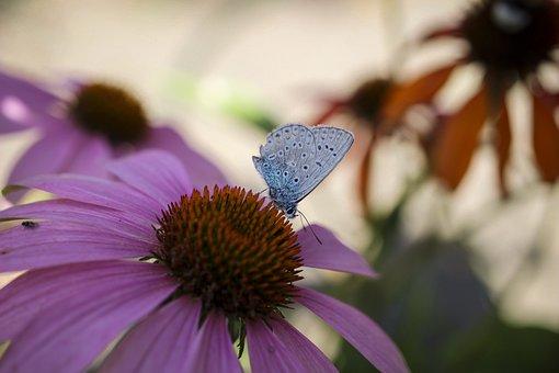 Flowers, Coneflower, Butterfly, Pollination, Pollen