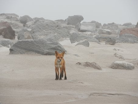 Fox, Predator, Beast, Animal, Wild, Rocks, Sand