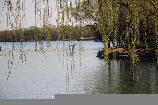 Scene, Spring, Willow, Twigs, Lake, Summer Palace
