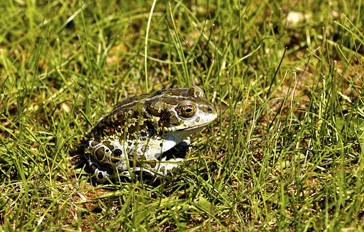Frog, Amphibian, Animal, Toad, Nature, Sitting