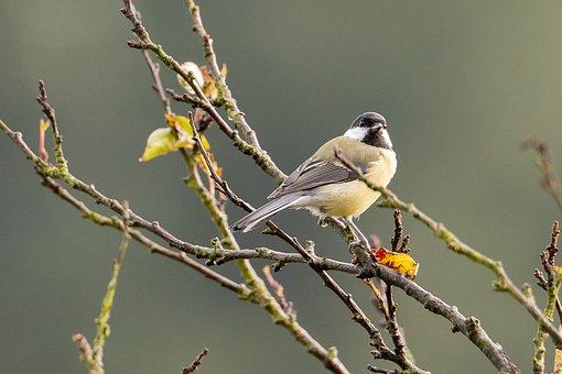 Tit, Bird, Songbird, Small Bird, Cute, Plumage, Perched