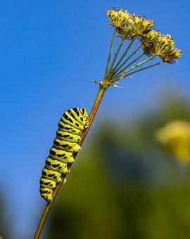 Caterpillar, Swallowtail Caterpillar, Insect