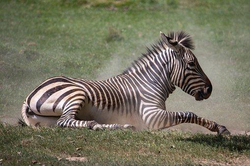 Zebra, Wild Animal, Africa, Striped, Mammal, Zoo