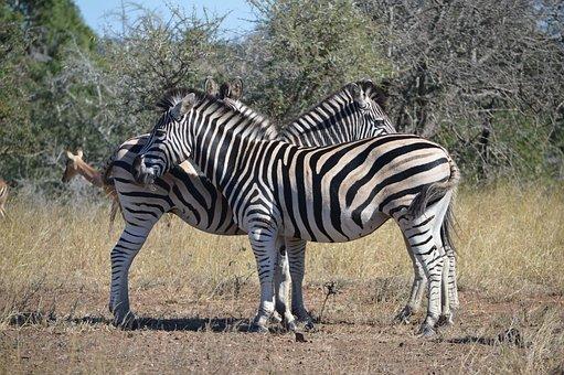 Zebras, Animals, Wildlife, Mammal, African Equines