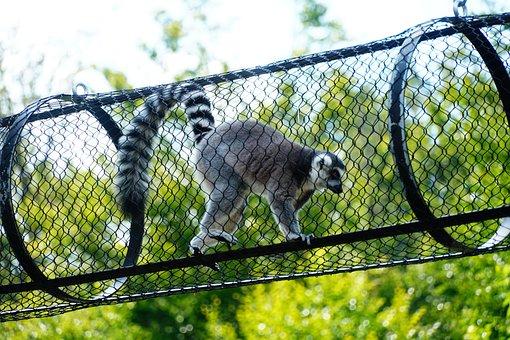 Lemur, Animal, Zoo, Wildlife, Mammal, Wild Animal