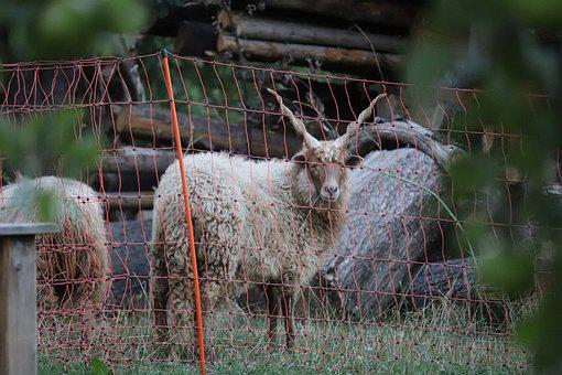 Goat, Billy Goat, Horns, Fur, Fence, Barrier, Enclosure