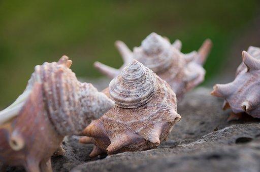 Beach, Conch, Shell, Sea, Ocean