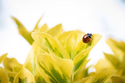Ladybug, Insect, Leaves, Foliage, Blossom, Bloom, Plant