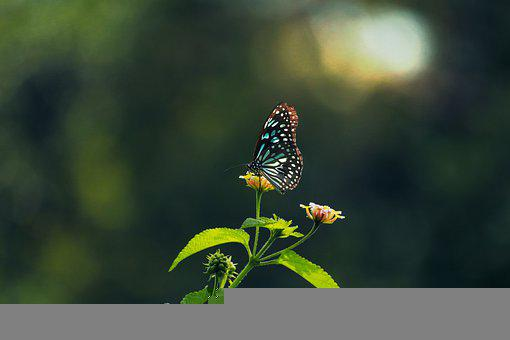 Butterfly, Flower, Insect, Leaves, Wildlife, Blue Tiger