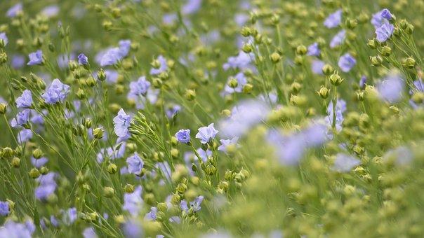 Field, Crop, Blossom, Bloom, Lein, Mean Leash