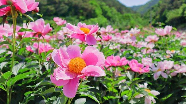 Flowers, Plants, Peonies, Peony Flowers, Flower Garden