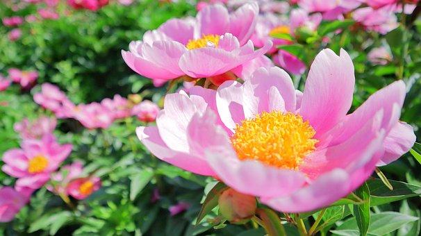 Flowers, Plants, Nature, Peonies, Flower Garden