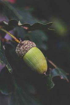 Acorn, Oak, Tree, Leaves, Nature, Autumn, Forest, Sheet