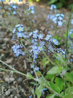 Flowers, Forget-me-not Flowers, Plant, Flora