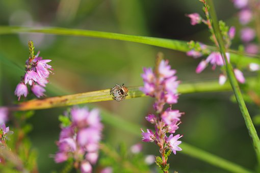 Spider, Insect, Arachnid, Flowers, Heide, Grass, Meadow