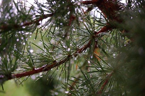 Larch, Tree, Nature, Branch, Green, Needles, Raindrops