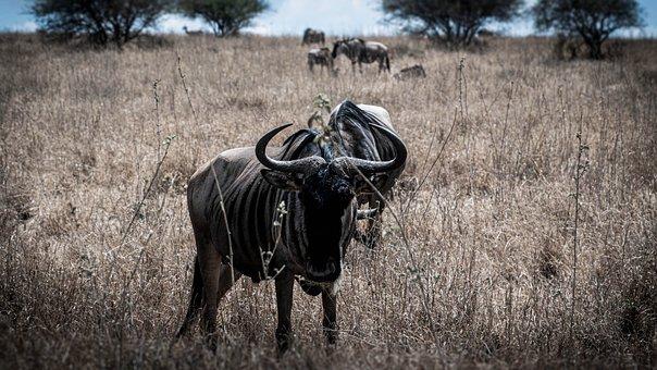Gnu, Antelope, Safari, Africa, East Africa, Kenya