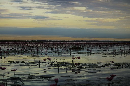 Thailand, Lotus Flowers, Lily Pads, Lake, Nature