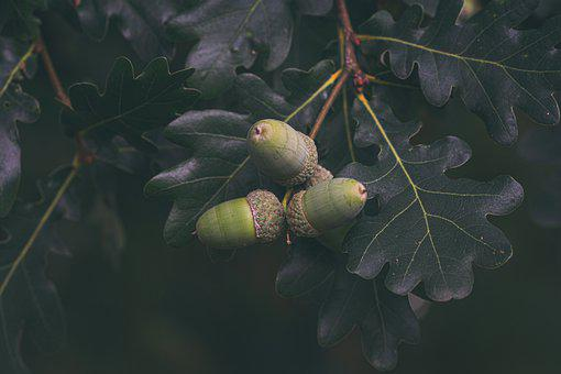 Acorns, Oak, Tree, Leaves, Forest, Sheet, Foliage