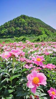 Flowers, Nature, Plants, Peonies, Peony Flowers