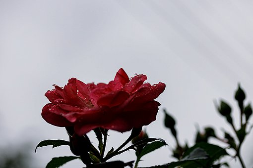 Rose, Red Rose, Flower, Red Flower, Plant, Flora