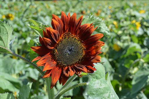 Sunflower, Pollen, Nature, Plant, Petals, Flora, Sunny