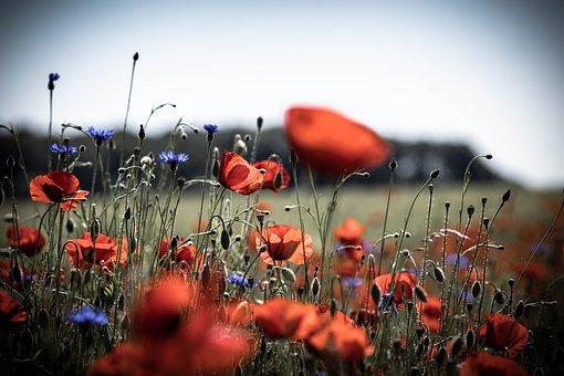 Poppy, Poppy Flowers, Meadow, Flowers, Flower Meadow