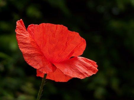 Poppy, Flower, Red Flower, Petals, Plant, Flora, Bloom