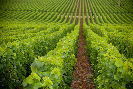 Grape Plantation, Vineyard, Plantation, Viticulture