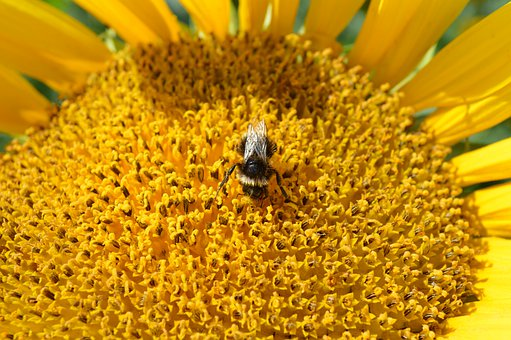 Sunflower, Bee, Bumble Bee, Pollen, Pollination, Yellow
