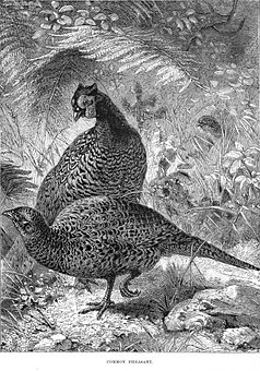 Pheasant, Game Birds, Birds, Animals, Avian, Wildlife