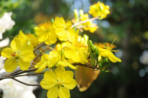 Apricot Flower, Yellow Apricot Flowers, Flowers