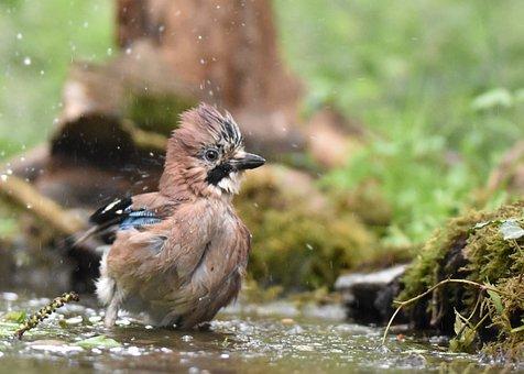 Jay Bird, Bird, Animal, Avian, Eurasian Jay, Closeup
