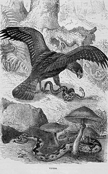 Vipers, Snake, Reptile, Serpent, Eagle, Raptor, Bird