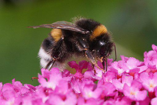 Bumblebee, Insect, Flower, Garden, Pollination, Nectar