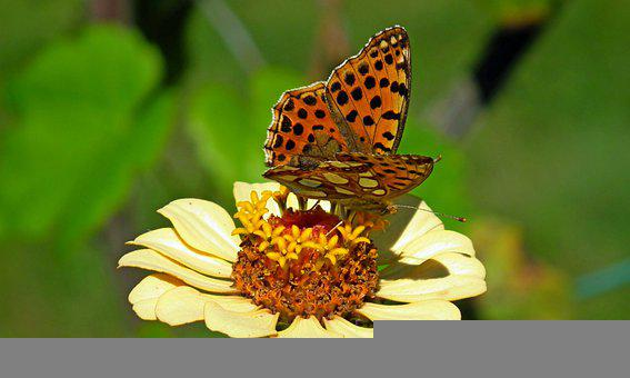 Insect, Butterfly, Flower, Zinnia, Yellow Flower, Plant