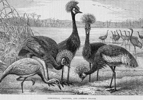 Cranes, Common Cranes, Crowned Cranes